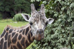 Kimbar, cea mai bătrână girafă din Europa