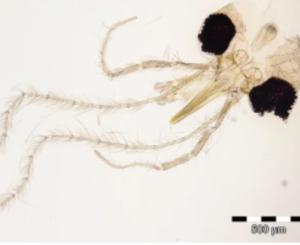 Phlebotomus simonahalepae